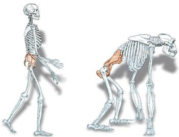 Impasul legat de mersul biped în teoria evoluţionistă